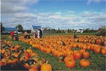 Pumpkins Ready for the Pumpkin Fling