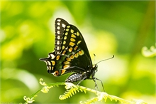 Short-tailed Swallowtail, Hay Island, Neguac.