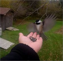 A Chickadee coming in for a landing.