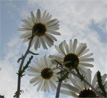 Flowers (Daisies)