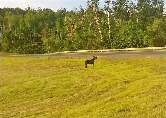 Moose at Centennial bridge offramp