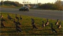 Canada Geese by Bayside Drive / Rothesay Avenue