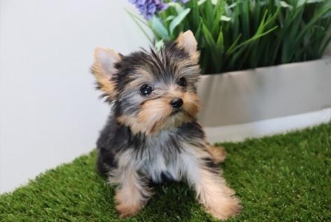 Beautiful Litter Of Yorkshire Terrier Puppies