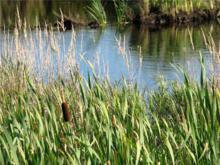 Cattails along the marsh