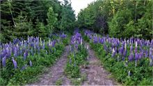 Lupins on old woods road