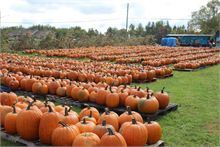 Field full of pumpkins for a good cause