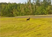 Moose at Centennial bridge offramp