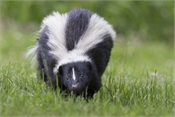 Saint John's Local Marketplace and Deals skunks-stink-600x400